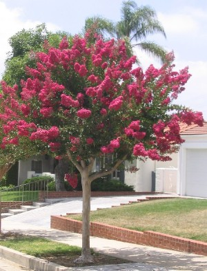 Properly prune your crape myrtle for a single stem multi for Arboles pequenos para jardin