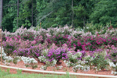 The Crape Myrtle Company Online Catalog