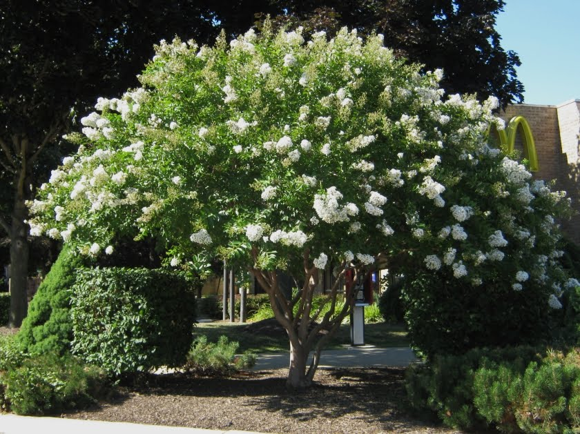 Sarah S Favorite 25 White Great Shade Tree