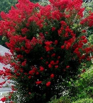 Red Tree Crape Myrtle 18 Brightest Cherry Red