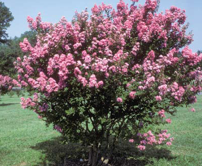 Pink crape myrtles available as miniatures dwarf medium height or hopi 8 small tree with delicate pink flowers mightylinksfo